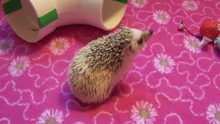 Where to Get a Hedgehog