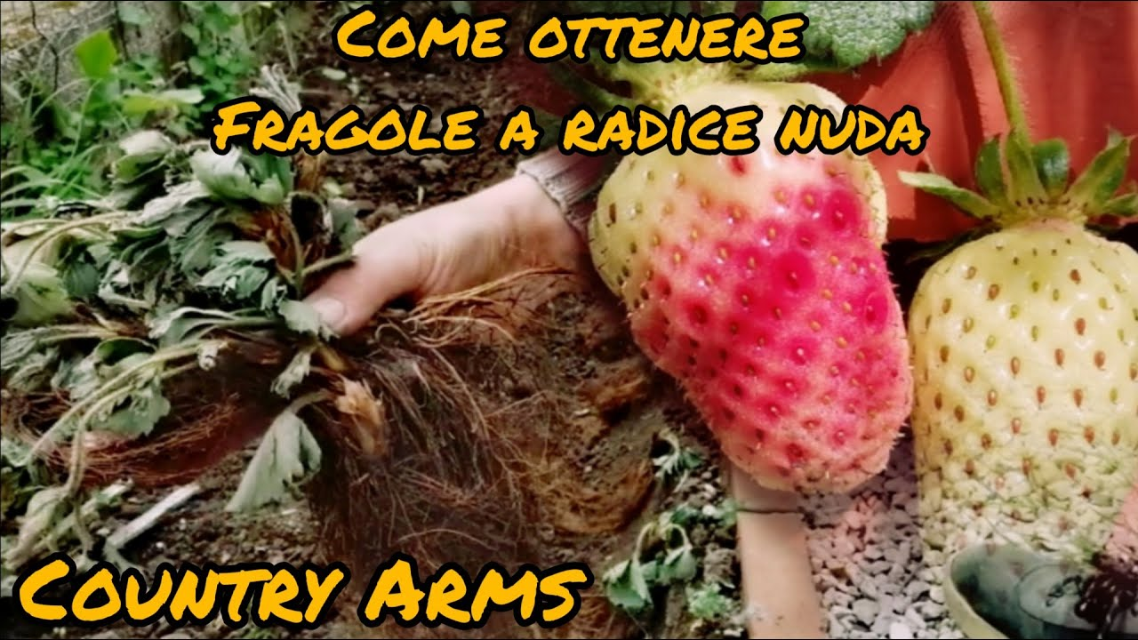 Download Come moltiplicare le fragole: le fragole a radice nuda.