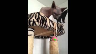 Папашка-кот породы бамбино с детьми