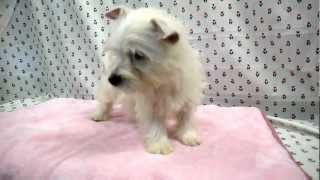 ブリーダー直販ドッグリアン東京で子犬販売http://dog-lien.com/puppy/479.