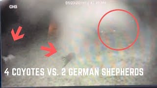 pack-of-coyotes-attack-two-german-shepherd-guard-dogs-caught-on-camera