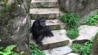 Monkey Dabs at the zoo Must Watch really funny 😂😂