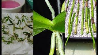 РАЗМНОЖЕНИЕ ОРХИДЕИ 2 . ОРХИДЕЯ . orchidea .(Мини-видео о размножении орхидеи. Более подробную информацию о размножении орхидеи предлагаю Вам посмотре..., 2014-11-09T21:44:51.000Z)