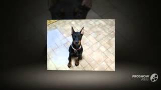 Немецкий пинчер порода собак