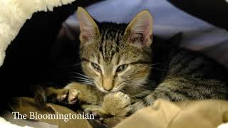 Kittens available for adoption at the Bloomington Animal Shelter