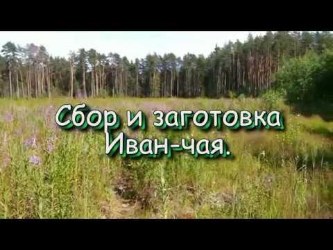 lana12: Напоминаю - время сбора ИВАН-ЧАЯ