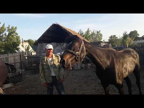 Случка лошадей наобум. Травмоопасно и времязатратно!