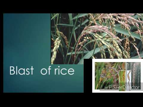 blast of rice disease symtoms type and disease management or life.cycle