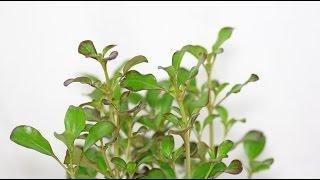 Coprosma repens - Koprosma, Mirror Bush