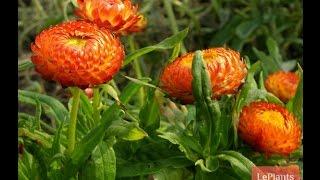видео Гелихризум  - выращивание из семян и уход