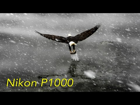Eagles with the Nikon P1000 (Photo and Video Samples)