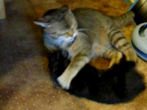 Black Bengal/Manx kitten fights with HUGE Pixie-Bob male.