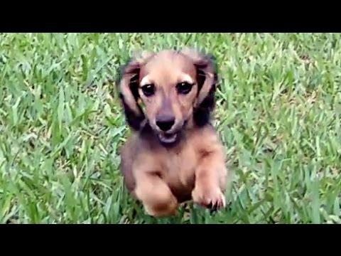 royalworth's-sparkling-contessa---an-english-cream-longhaired,-miniature-dachshund-female-puppy