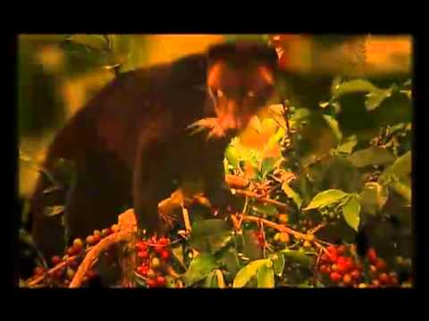 Original Luwak (wild Civet Coffee)