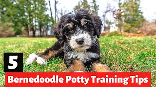 5 Bernedoodle Potty Training Tips | How to House Train a Bernedoodle puppy?