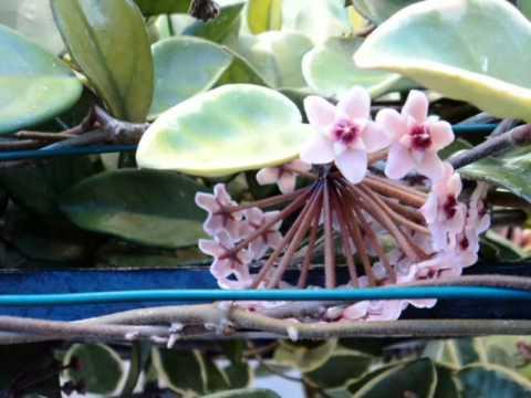 Flores hoya carnosa (krimson queen). wax flowers