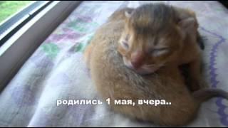Слепые абессинские котята..