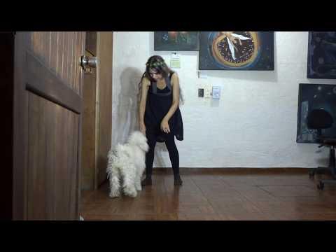 Puli Dog Nilka