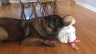 Baby vs Leonberger | Leonberger playing with a baby