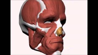 Fast N Rough face anatomy construction in ZBrush - part 1