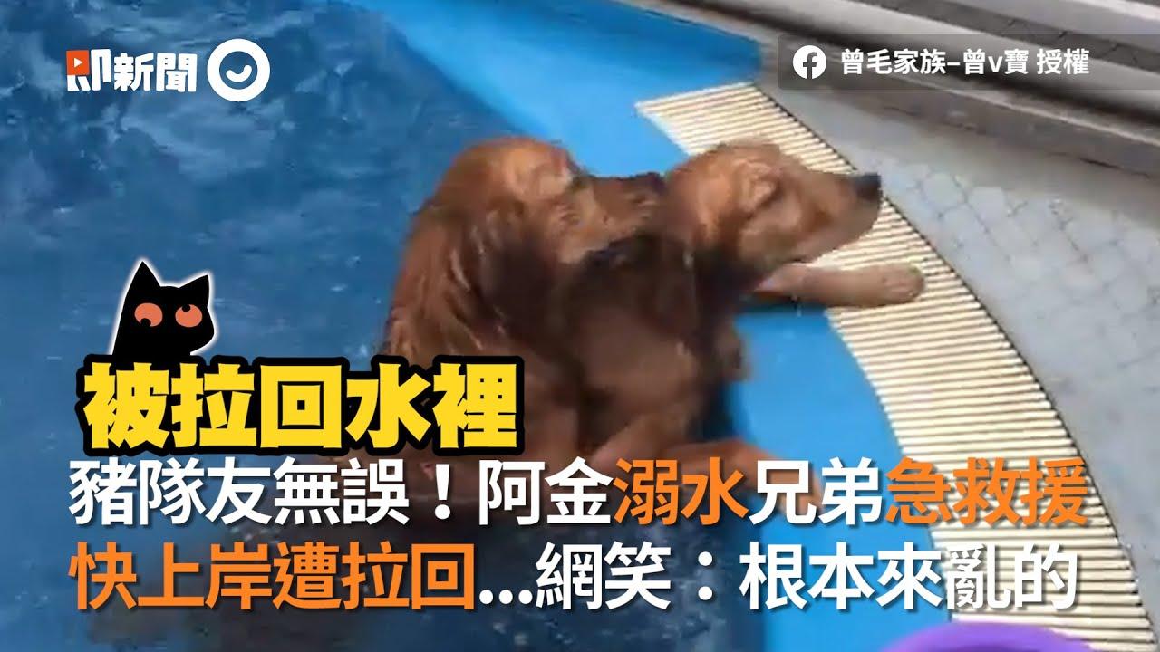 豬隊友無誤!阿金溺水兄弟急救援 快上岸遭拉回...網笑:根本來亂的│寵物│狗狗 黃金獵犬