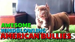 Awesome AMERICAN BULLY Puppies. Amazing Quality. Beautiful Wrinkles. Friendly Playful Bullies