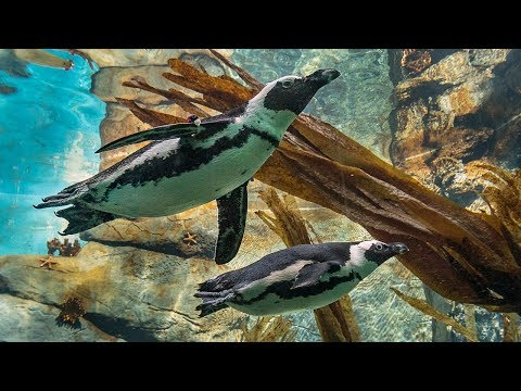 African Penguin Pool Party