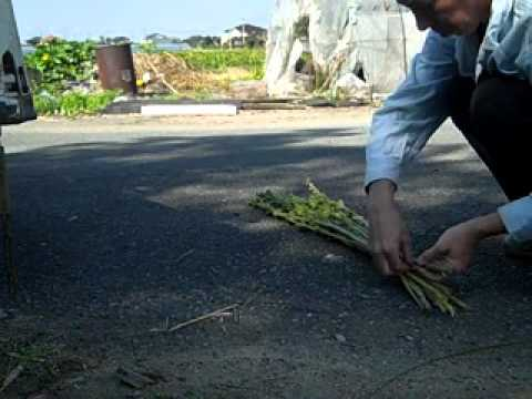 Sesame Harvest.wmv