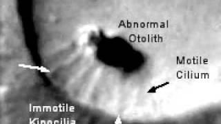 A beating motile cilium