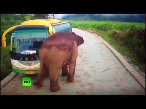 Elephant Attacks Vehicles In China
