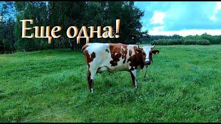 Дойка первотелки. Леля стала коровой // Жизнь на хуторе