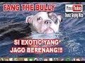 Fang The Bull Si Anjing Bully Jago Berenang!!!