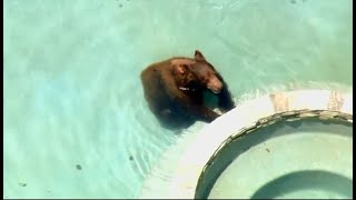 WANDERING BEAR:  A wild California black bear swims in backyard swimming pools in Granada Hills