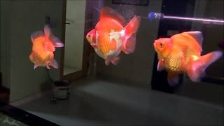 LIOW VIDEO: Six Ryukin goldfish in my Arowana tank 龙鱼缸养琉金
