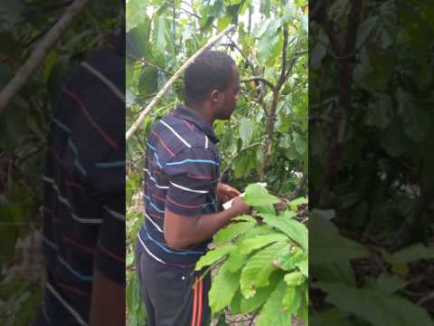 In the bushes of Nimba, Liberia working with cocoa farmers