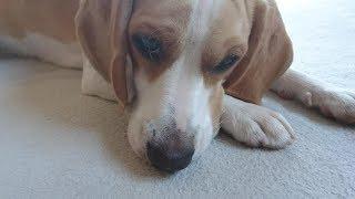 ビーグル #うぃるさん #Beagle 朝からバナナタイムでしたが… ジャーキ...