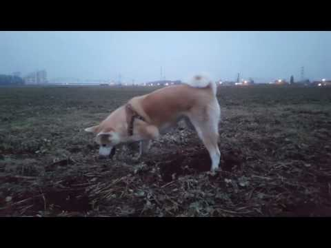 Best Dog Breed Akita Inu - hunting (Japanese Akita, 秋田犬)