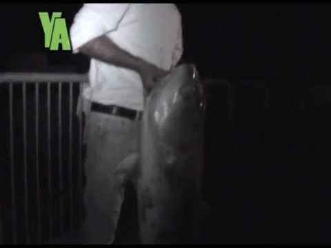 דגי אנטיאס ענקיים במזח הרצליה