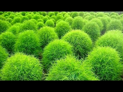 How To Care Kochia Plant Burning Bush Care And Tips For