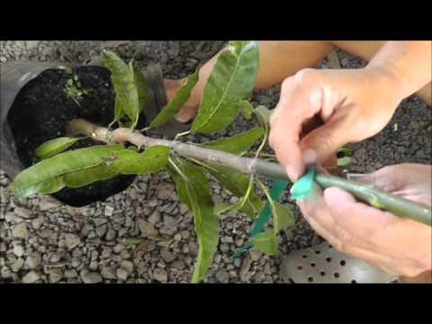 Whip Grafts on Fruit Trees