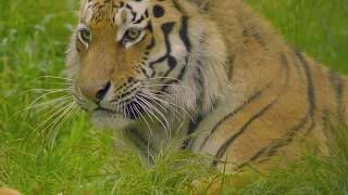 Трейлер к фильму «Тигры и люди»