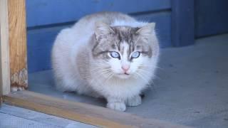 Самый красивый кот с голубыми глазами. Белечек.
