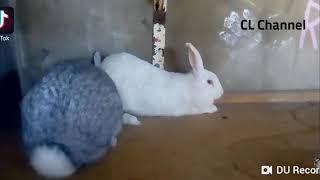 Cận cảnh quá trình thỏ giao phối (Animal have sex part 2,Rabbit)