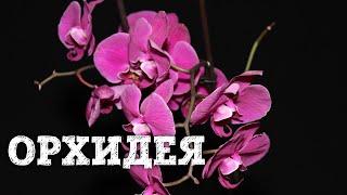 Орхидея в домашних условия. БотаникLIVE