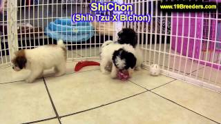 ShiChon, Puppies, For, Sale, In, Milwaukee, Wisconsin, WI, Brookfield, Wausau, New Berlin, Fond du L