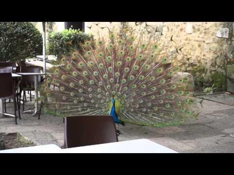 Peacock dance @ São Jorge Castle, Lisbon, Portugal