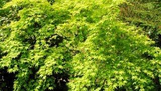Acer palmatum 'Aureum' video