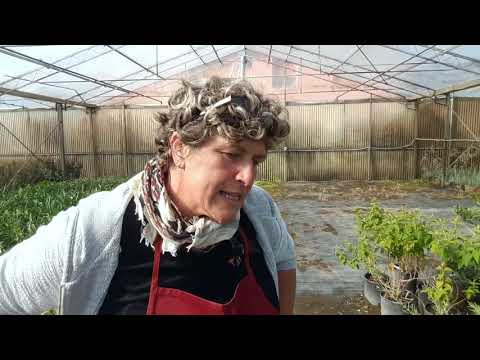 Come si coltiva la buddleja morning mist