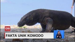 Fakta Unik Komodo