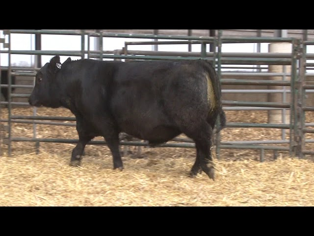 Schiefelbein Angus Farms Lot 56